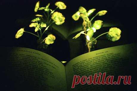 В США изобрели фонари из растений. Исследователи из США решили заменить искусственные источники света природными. В Массачусетском технологическом институте вывели светоизлучающие растения, которые в перспективе станут альтернативой уличному освещению. Для этого в листья внедрили люминисцентные наночастицы, подобные ферментам светлячков.