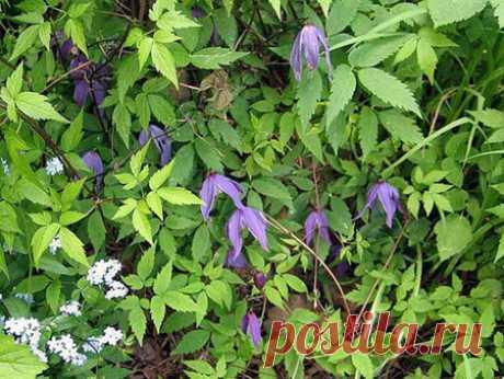 Как вырастить княжики из семян [128] | Сад | Garden Star - информационный портал