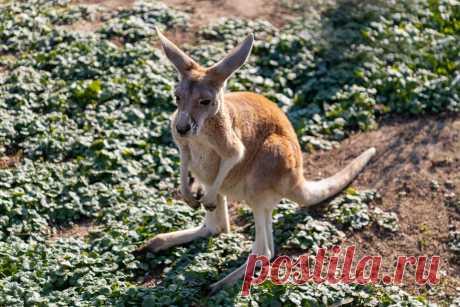 Кенгуру является самым уникальным животным на планете. В статье рассказывает о характерных особенностях, внешнем виде, продолжительности жизни и питании этих животных.
