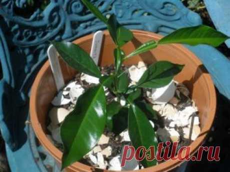 Выращивание апельсинового дерева из косточки в домашних условиях