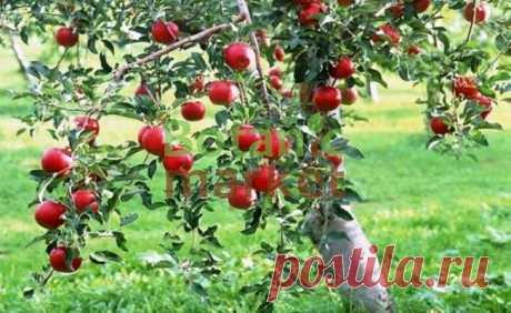 Чтобы яблони были урожайными — 6 соток