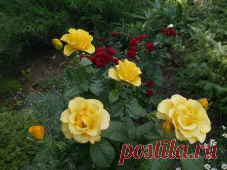 Теперь я знаю как правильно обрезать розы после цветения. Ошибки, о которых стоит знать | Куклы Марины Еремеевой | Яндекс Дзен