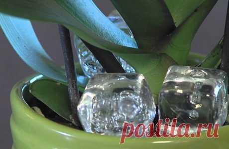 Она поместила в горшок с орхидеей кубики льда. Через неделю произошло чудо!
