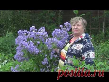 Колокольчик молочноцветковы Причардс Вэрайети в моем саду
