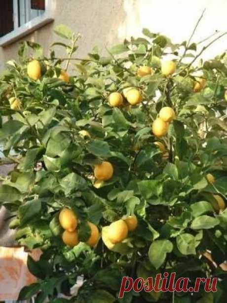 El cultivo de los limones de la casa \u000a\u000a\u000a\u000aNo se puede criar todas las clases de los limones en la habitación. Lo mejor de todo para la cultura de habitación se acercan: el limón De Pavlovsk, el limón de Meyera, Novogruzinsky, Dzhenoa, Maykopsky. Más a menudo en las condiciones de habitación vyraschi …