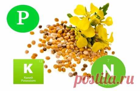 Выращивание горчицы в качестве удобрения