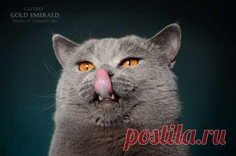 Британский Кот голубого окраса Сeron Gold Emerald