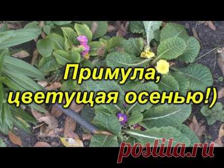 Осеннее цветение примулы- примула цветёт круглый год!
