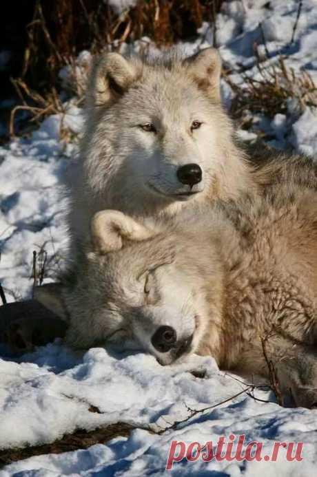 You sleep while I keep watch Wolves Arctic wolf, Wolf, Wolf love в Яндекс.Коллекциях