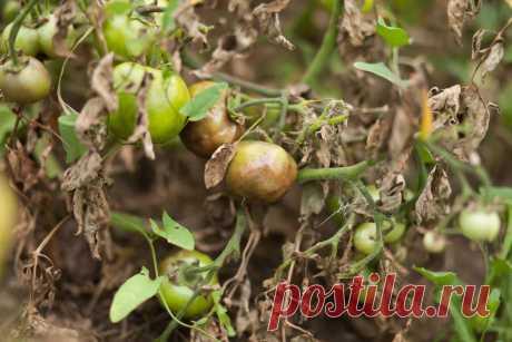 Фитофтороз на помидорах: как бороться с заболеванием Фитофтороз на помидорах появляется после дождей и сильного полива. Бороться с грибком можно подручными средствами или использовать готовый химический препарат.