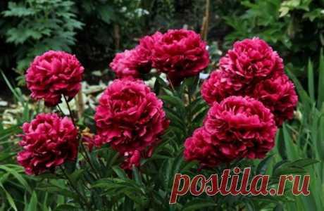Как пересаживать пионы в августе — Садоводка