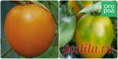 Низкорослые томаты – самые урожайные сорта | Томаты (Огород.ru)