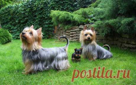 Австралийский шелковистый терьер (силки): фото, описание породы, характер и цена щенка в России