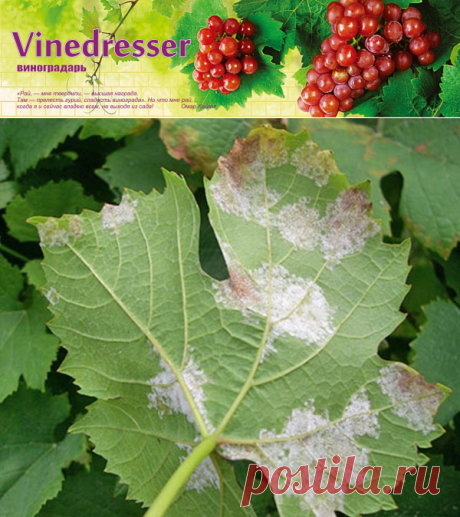 Милдью винограда - ложная мучнистая роса