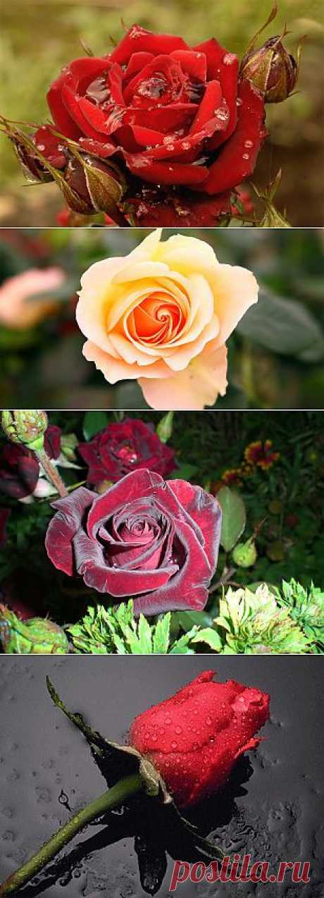 О чём расскажут розы .