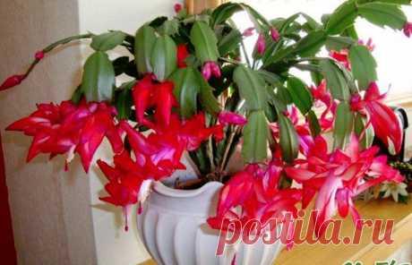 Рождественский кактус будет полон цветов, если следовать этим правилам Необычное растение станет прекрасным украшением любого дома