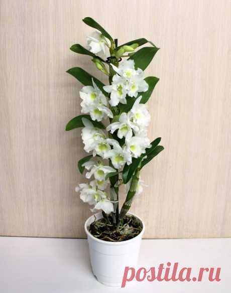 Дендробиум благородный: уход в комнатных условиях Дендробиум благородный , или нобиле(Dendrobium nobile) родом из тропических стран Южной Азии, в природе ведет эпифитный образ жизни. Относится к симподиальным орхидеям, которые после окончания роста м…
