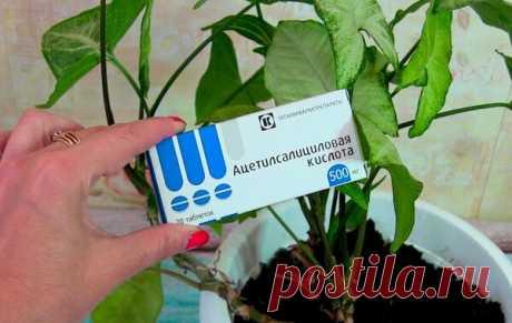 Как правильно использовать Аспирин при подкормке домашних растений | Все о цветоводстве | Яндекс Дзен