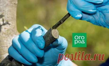 Все, что нужно знать о прививке сливы | В саду (Огород.ru)