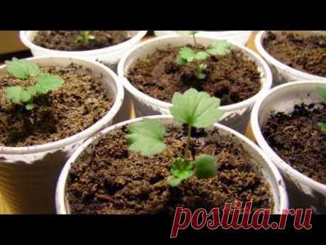 Земляника из семян от посева до урожая - YouTube