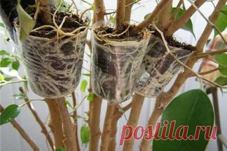 Уникальный способ размножения деревьев и кустарников. Легко получить саженцы деревьев, кустарников и комнатных цветов, имеющих древовидные стебли, методом воздушных отводков. Способ неимоверно прост и не потребует наличия специального инструмента или как…