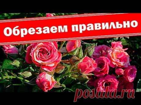Весенняя обрезка бордюрных роз. Как правильно сформировать куст розы