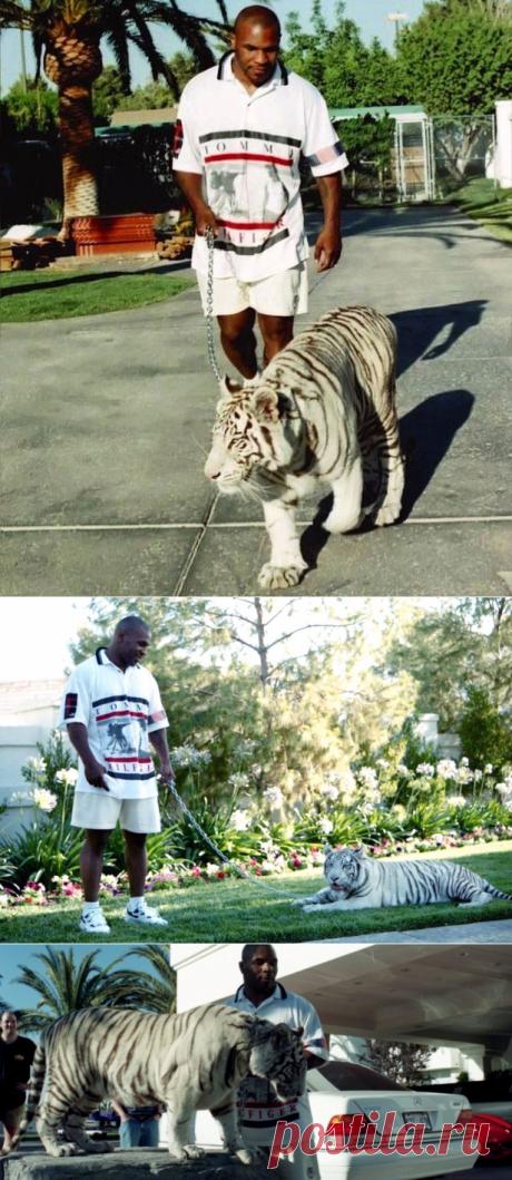 Майк Тайсон рассказал, как он купил своих бенгальских тигров   PetTips