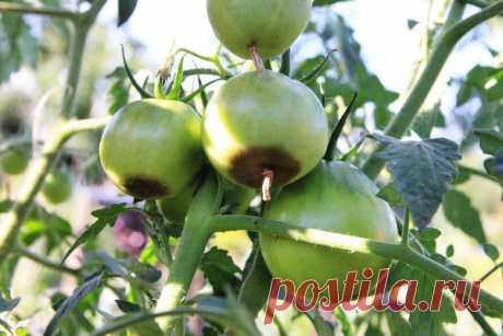 Вершинная гниль томатов: что это такое и как с этим бороться