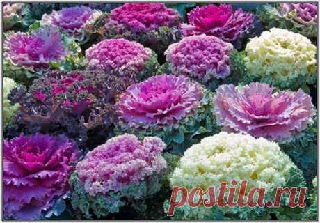 Декоративная капуста: выращивание из семян и уход за ней, когда сажать на рассаду, фото