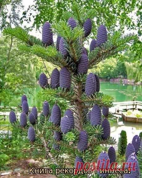 El pino albar coreano