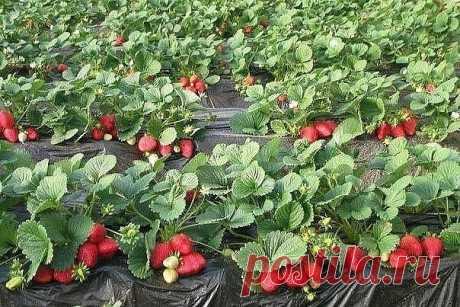 Удобрение клубники нашатырным спиртом для крупных и вкусных ягод | 6 соток