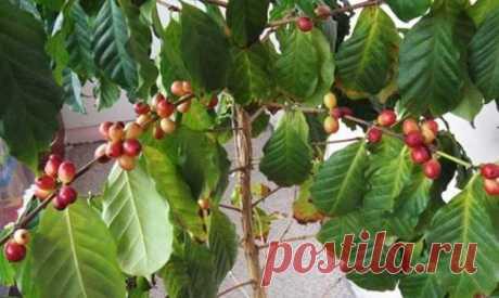 Уход за кофейным деревом Кофейное дерево в домашних условиях вырастить совсем не сложно, несмотря на экзотичность растения. А уж уход за ним ничуть не сложнее, а в некоторых случаях и проще чем за многими комнатными растениям...