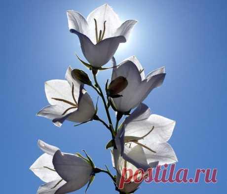 Садовый Колокольчик - посадка в открытый грунт, уход за цветком. Выращивание колокольчика, посадка колокольчика, фото, колокольчик уход – все, что нужно знать начинающему садоводу читайте далее в этой статье.