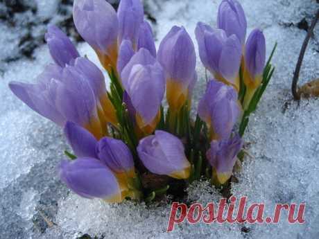 Как прекрасны первоцветы, Как они милы, просты