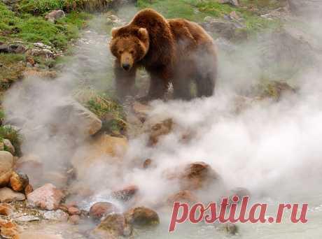 Обжигают ли медведи лапы в гейзерах? Каждый год Долина гейзеров и кальдера вулкана Узон, находящиеся в Кроноцком заповеднике, берут дань со своих посетителей ожогами.