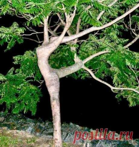 дамское дерево - Pixdaus