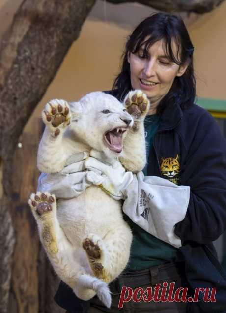 В немецком зоопарке показали редких белых львят. ФОТО  Красавчикам с острыми когтями выбирают имена