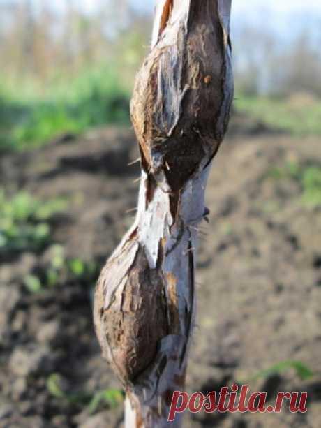 Болезни и вредители малины: фото, борьба, чем обработать малину от болезней и вредителей