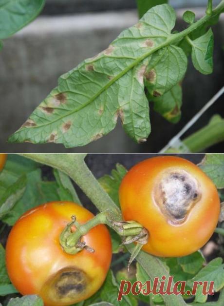 Кладоспориоз томатов, лечение народными средствами