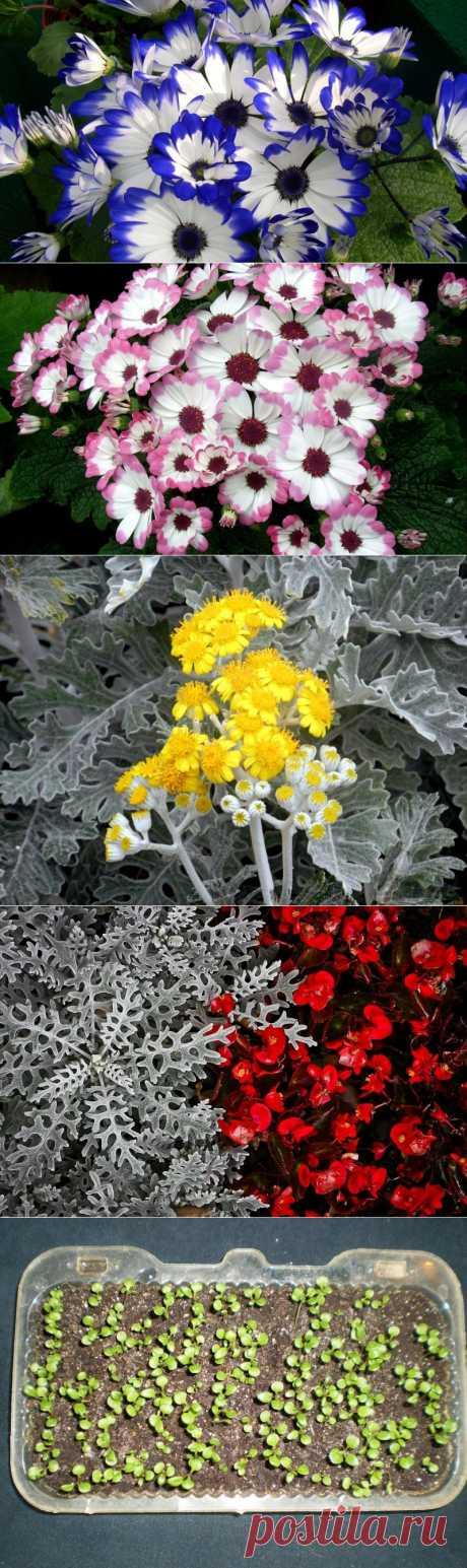 Цинерария в саду.Посадка,уход,сорта.  Многие из нас, выбирая растение для бордюра, хотят чтобы оно было декоративное, приковывающее взгляд, при этом хорошо обрамляло дорожки или выгодно подчеркивало яркие цветники. Цинерария — то что вам нужно!