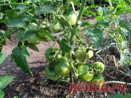 Как правильно удалять листья на томатах | Дачные секреты от Виктории Радзевской | Яндекс Дзен