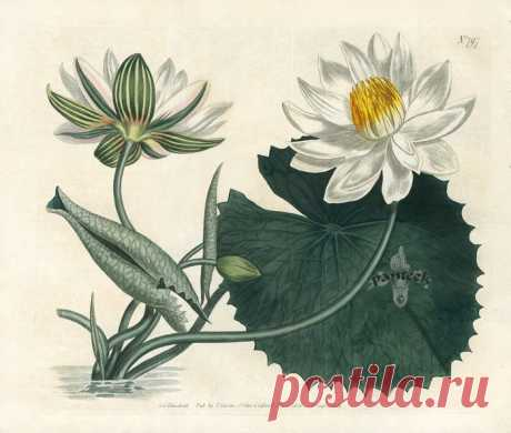 Curtis Botanical Magazine Double Prints 1787. Цветочные иллюстрации.