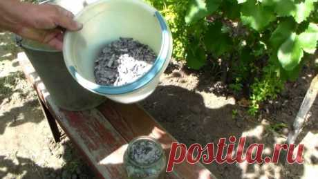 Самая главная подкормка винограда  Чтобы виноград радовал урожаем, надо обязательно проводить подкормки. Самая главная из них − сразу после цветения, на стадии мелкого гороха. Которая влияет на размеры плодов и количество ягод в грозд…