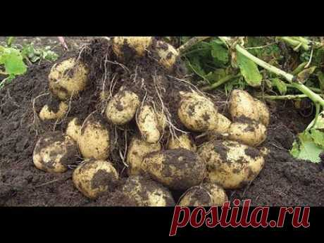 THERE WILL BE A LOT OF POTATOES WITHOUT EARTHING UP AND WATERINGS! LAZY WAY!!!