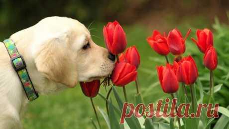 «Лабрадор нюхает тюльпаны.» — карточка пользователя bgulyaev в Яндекс.Коллекциях