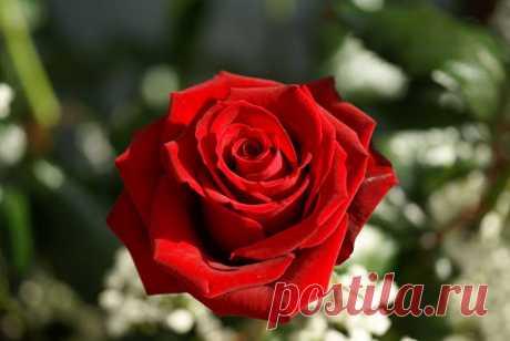 rosas matizadas fondo negro - Búsqueda de Google