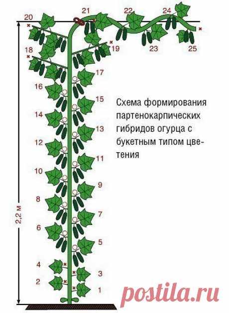 ФОРМИРОВАНИЕ ПРИ ВЫРАЩИВАНИИ ОГУРЦОВ НА ШПАЛЕРЕ.  Выращивание огурцов на шпалере в теплице и открытом грунте невозможно без правильного и своевременного формирования огуречных растений. Своевременное удаление лишних ростовых побегов перенаправляет силы огуречного куста на плодообразование и способствует более раннему и обильному урожаю. Формирование огуречного куста во многом зависит от сортовых особенностей растения.[  Так опыляемые пчелами сорта огурцов образуют завязи п...