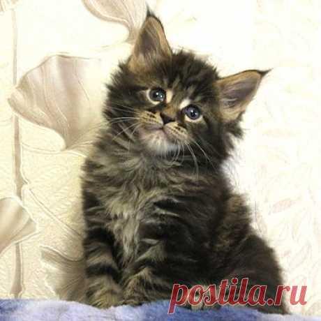 Кошечка мейн-кун, Flora Formula Uspekha*RUS