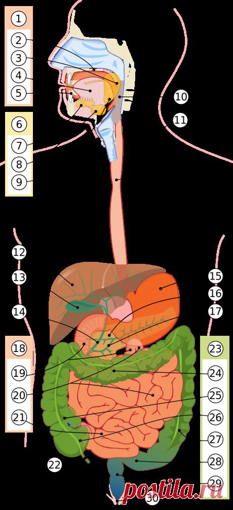 Пищеварительная система человека — Википедия