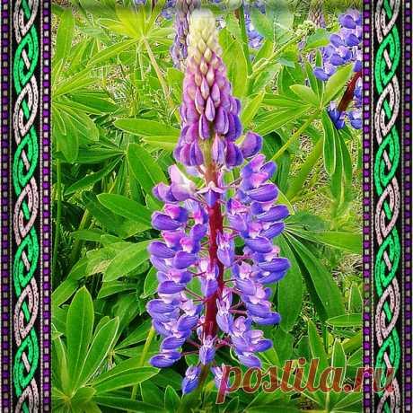 ЛЮПИНЫ не просто очень красивые, я бы даже сказала, нарядные цветы, которые украшают любую клумбу, но это еще и лекарственное растение.  В переводе с латыни название растения обозначает «волк».  Люпин принадлежит к однолетним корневищным растениям семейства бобовых. Чаще он встречается как травянистое растение, и реже – как кустарник. Показать полностью…